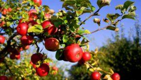 cider-tree